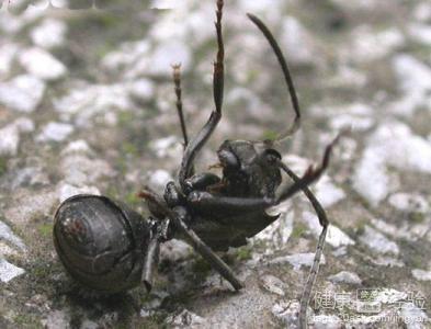 怎样治理蚂蚁叮咬