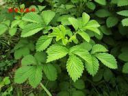 中药仙鹤草可以治疗哪些疾病