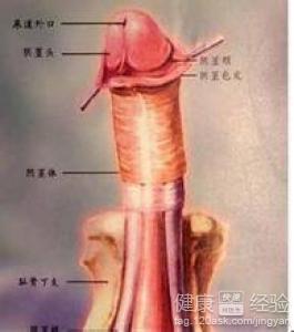 最粗的阴茎_男性阴茎多粗正常呢