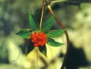 七叶一枝花的功效与作用图片
