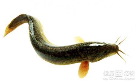 金湖泥鳅图片