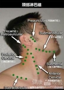 下区、颌下颏下淋巴结颈淋巴结群、、锁骨上窝腋窝滑车上腹股沟及胭
