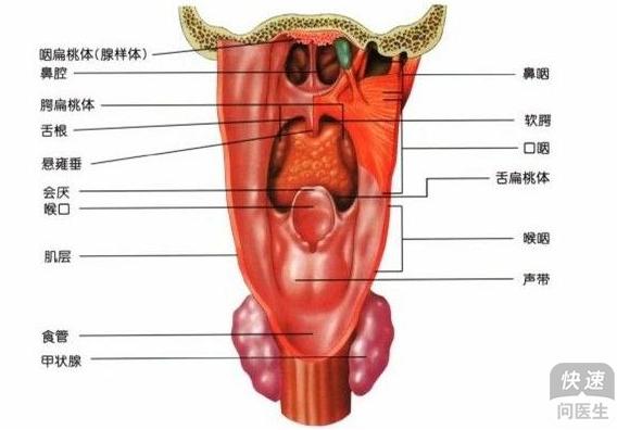 咽喉炎和扁桃体发炎的区别和治疗方法