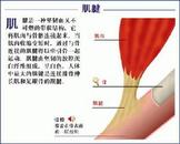 局部可摸到肌腹与肌腱连接处略有缺失与下陷