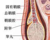 睾丸用手电筒照不透光