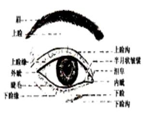 眼的外部结构示意图