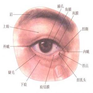 图1.眼部解剖结构-开眼角