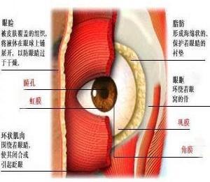 图1.眼睑的解剖结构-去眼袋